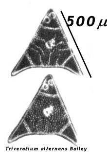 Triceratium alternans Bailey